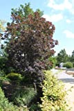 Smoke tree, smoke bush - In a 3 L pot, height: 60-80 cm