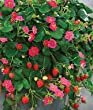 Toscana Strawberry Plant- Two (2) Live Plants - Not Seeds - in 3.5 Inch Pots