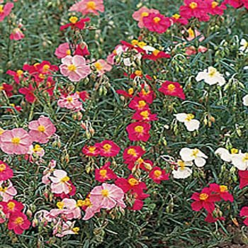 OldLadyRenee : 350+ Ground covering, Beautiful *Rock Rose Mix* Seeds