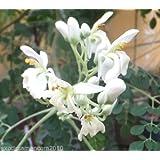 Meerrettichbaum Moringa Oleifera 50 Samen