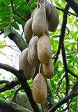 TROPICA - Leberwurstbaum - 10 Samen