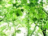【6か月枯れ保証】【街路樹&公園樹】ナンキンハゼ 0.5m 【即日発送対応】