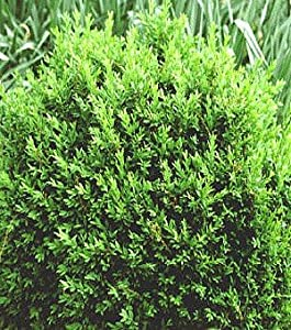 "North Star TM Boxwood - Buxus - Superb Winter Color - Proven Winners - 4"" Pot"
