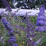 BM Plants Buddleja davidii 'Pixie Blue' , 10L , Butterfly bush (compact) , ShrubFragrant