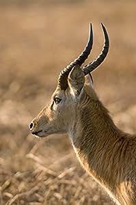 .com: Puku, Busanga Plains, Kafue National Park, Zambia by Sergio