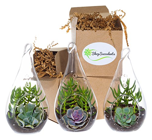 Shop Succulents Decorative Glass Succulent Design Trio