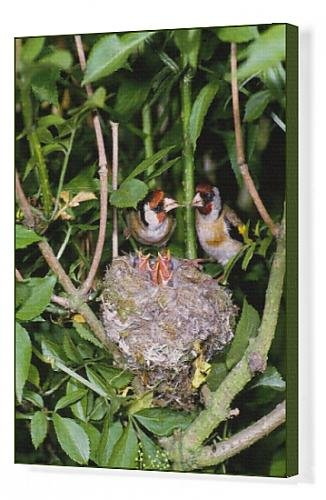 Canvas Print Of Bird - Pair Of Goldfinches With Young In Nest In May front-943539