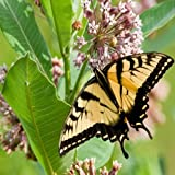 Outsidepride Milkweed Common - 50 Seeds