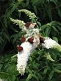 Butterfly Bush Buddleia White Bouquet 60 Cm In 3 Liters Plant Container