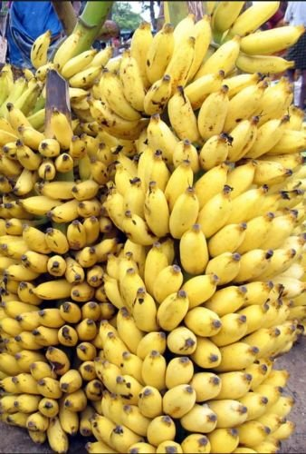 10+ Fresh Musa Acuminata Edible Dwarf Banana Tree Plant Seeds Tropical Fruit (Growing Dwarf Fruit Trees compare prices)