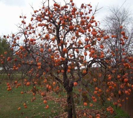 Persimmon Tree Seeds