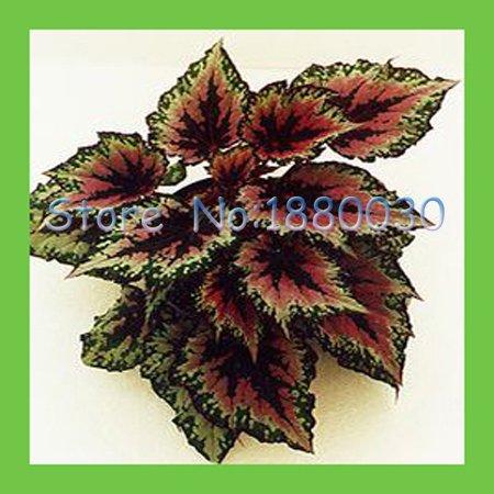 30pcs-uniche-piante-ornamentali-verde-rosso-h-spirale-di-colore-begonia-fogliame-paesaggio-bonsai-in