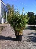 Bamboo Fargesia Rufa '10 Litre' Large Plants