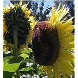 Generic 10 Seeds Mini Sunflower Seeds Dwarf Sunflower Seeds Sunflower Series Height 40cm Flower Seeds-Color 4