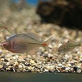 タイリクバラタナゴ S~Mサイズ 3匹2cm~4cm タナゴ 川魚 淡水魚