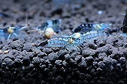 6 Carbon Rili Shrimp Live Freshwater Aquarium Shrimp - 1/2 to 1 inch long Young Adults by SoShrimp