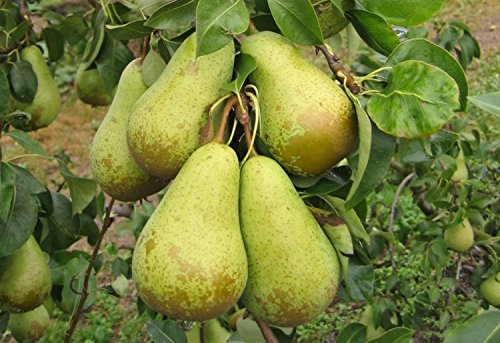 conference-pear-tree-4-5-ftbare-root-self-fertile-heavy-cropper-ready-to-fruit