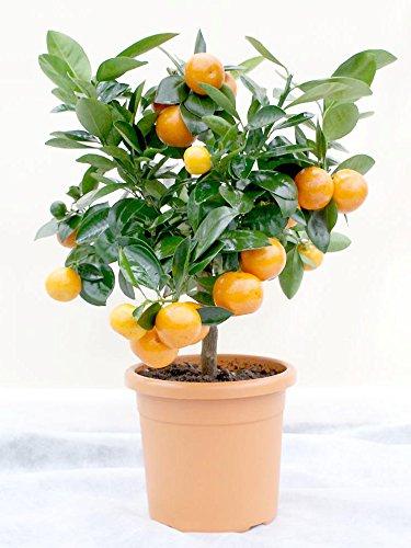 calamondin-standard-miniature-orange-tree