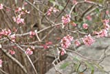 Sycamore Trading VIBURNUM x bodnantense Dawn x 5 Young Plants
