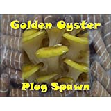 Golden Oyster Mushroom Plug Spawn 50 Count