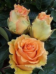 100 Fresh Hot Peach Roses | 50 cm. long (20\