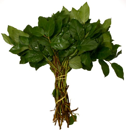 Fresh Cut Flowers - Salal Lemon Leaves - Bouquet Filler Greens - Wholesale Value Pack (20 Stems)