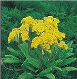 Suffolk Herbs Pictorial Pack - Wild Flowers - Cowslip - 80 Seed