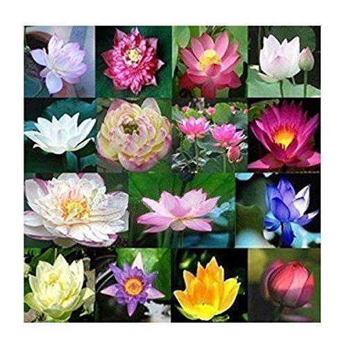 toogoor-graines-de-fleurs-fraiches-eau-plantes-aquatiques-fragrance-blooming-lotus