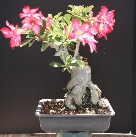 Large Desert Rose Bonsai Tree by Sheryls Shop