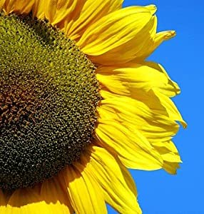 Mongolian Giant Sunflower 20 Seeds - Huge Seeds - Tall