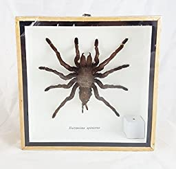 Tarantula Real Spider Taxidermy Wood Framed Mounted Unique Boxed Frame Insect Eurypeima Entomology Display Spincrus