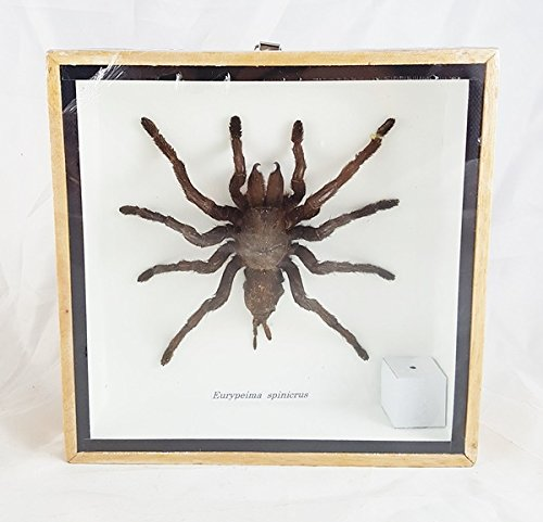 Tarantula Real Spider Taxidermy Wood Framed Mounted Unique Boxed Frame Insect Eurypeima Entomology Display Spincrus (Horn Sewing Machine Cabinets compare prices)