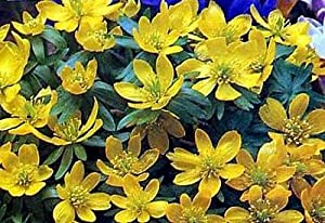 Winter Aconite 20 Seeds - Eranthis hyemalis - Perennial