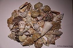 2 Pounds of Handbatched Caribbean Seashells (2 to 4 Inch Shells)