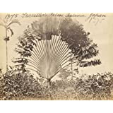 Batavia traveller's palm, photo Francis Frith (Print On Demand)