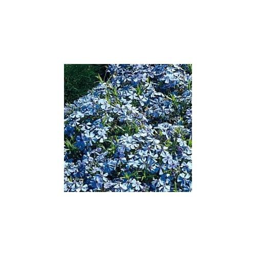 Amazon.com - Sapphire Blue Carpet Phlox (Lavender-Blue