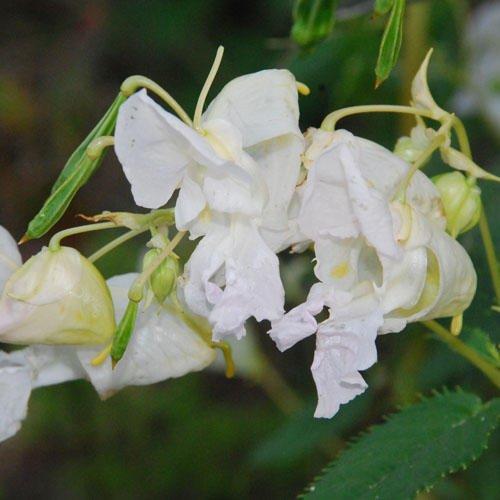 impatiens-glandulifera-white-faces-seeds