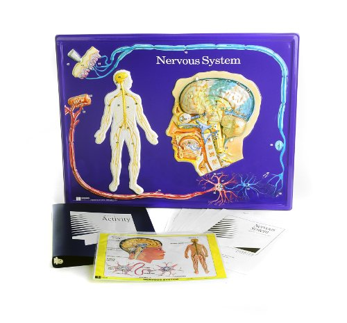 American Educational Nervous System Model Activity Set (Nervous System Model compare prices)