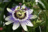 Passiflora White Lightning (Passion Flower) - 1 Ltr Quality Plants