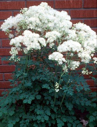 Buy RARE White Meadow Rue – Thalictrum – SHADE – Potted