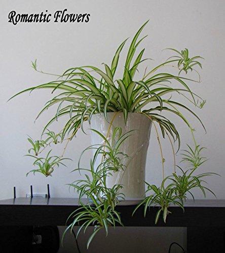 100-particelle-sacchetto-chlorophytum-bonsai-assorbire-la-formaldeide-herb-erba-in-vaso-le-piante-da
