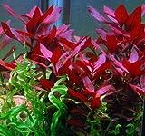 Wasserflora Rubinrote Ludwigie