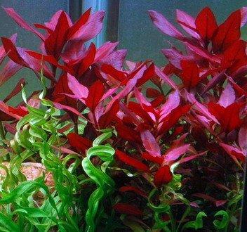 Wasserflora Rubinrote Ludwigie / Ludwigia repens RUBIN