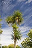 RP Seeds Cordyline Australis Cabbage Palm Seeds