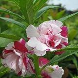 Flora Fields Balsam - Rose Double Mix