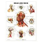 Head And Neck Anatomical Chart Styrene Plastic