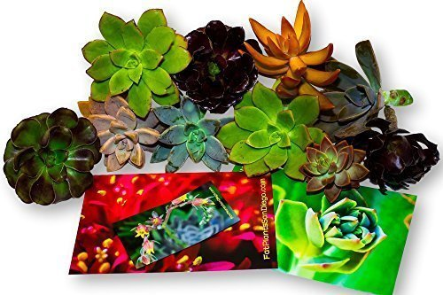 Fat Plants San Diego Ten Gorgeous All Rosette Succulent Cuttings