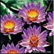 Panama-Pacific Tropical Water Lily (Annual)