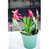 9GreenBox - Red Christmas Cactus Plant - Zygocactus - 4