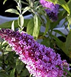 PeacockTM Buddleia davidii 'Peakeep' Butterfly Bush - Proven Winners - 4